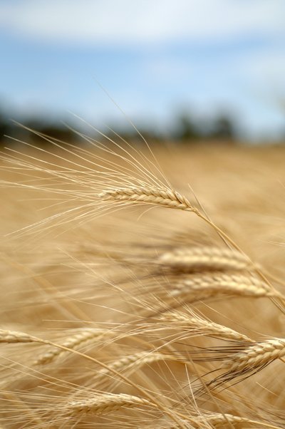 Wheat is a major source of starch
