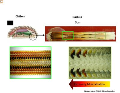 Different images of chiton teeth