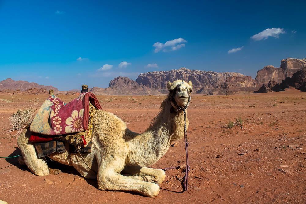 Camel in Wadi Rum - Jordan Tour-185