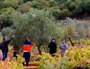 Jordan Tour Olive Harvest