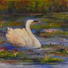 Swan_in_lily_pond_june_2013