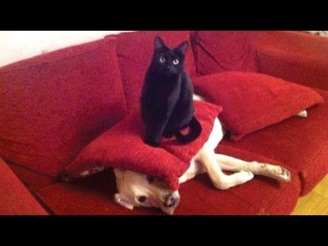 Funny cats annoying dogs – Cute animal compilation
