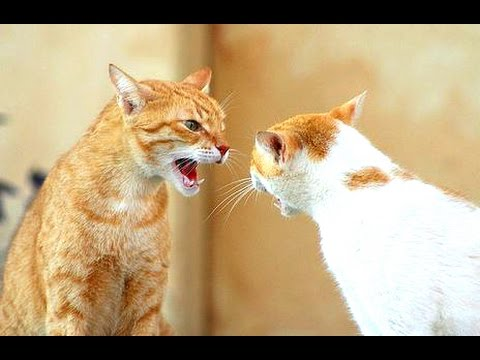 Funny Cats Arguing – Cats Talking To Each Other Compilation || NEW HD