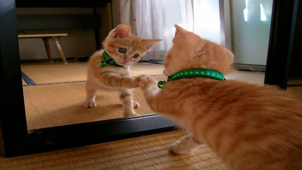 Funny Cats Vs Mirrors – Funny Cats Compilation January 2016