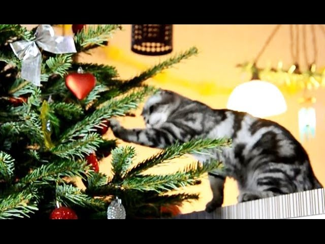 Funny Cats prepare for Christmas