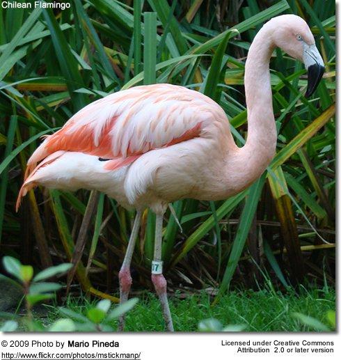 Bird-Watchers-~-Chilean-Flamingos-in-Salinas