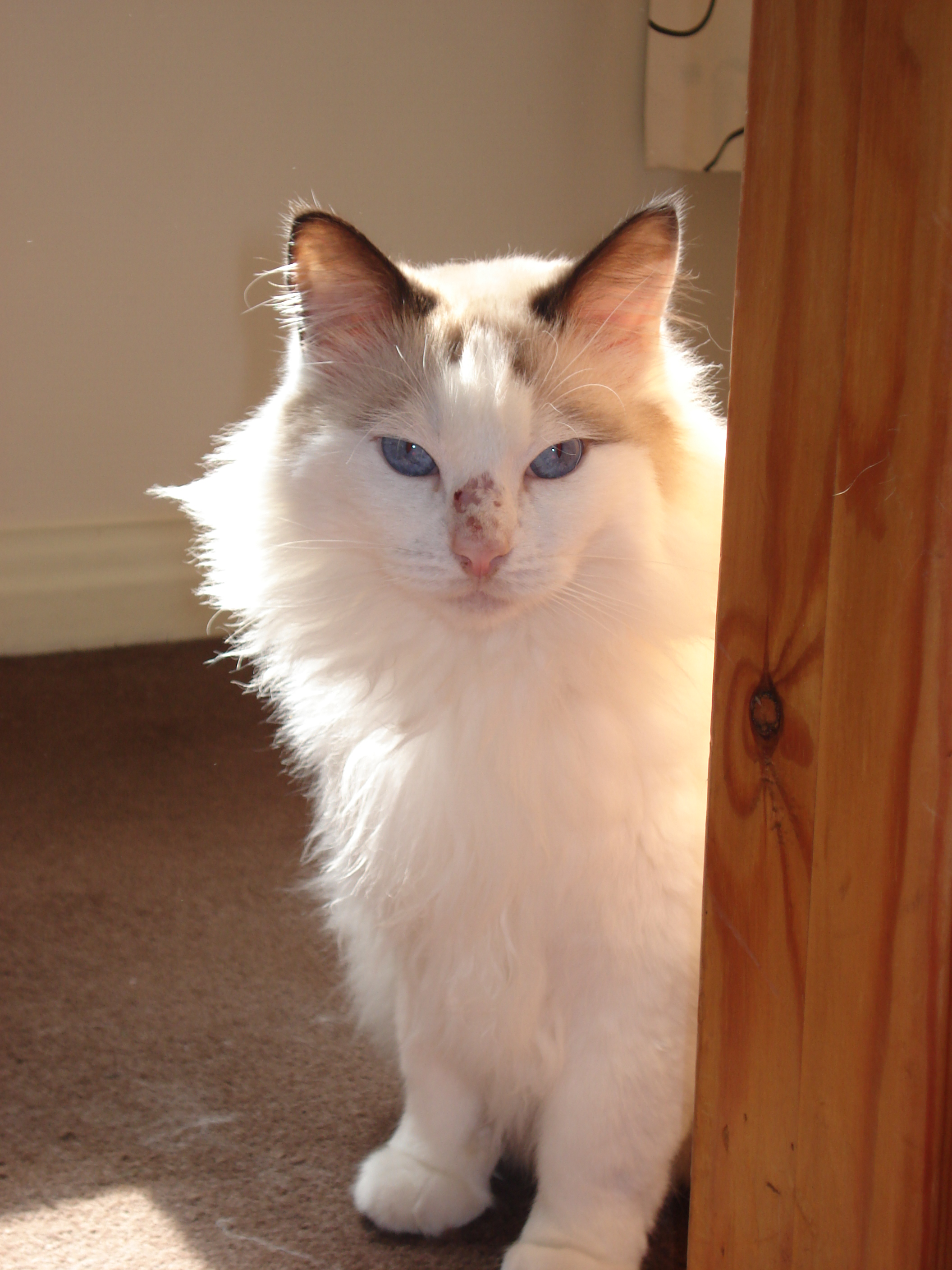My ragdoll cat has had scabs on his nose for the last 2-3 years. Our vets have tried anti