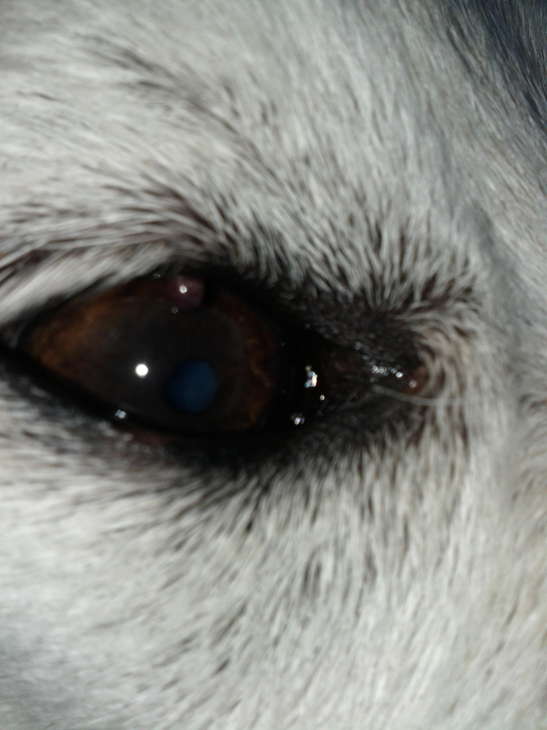 My dog has a little stye or cyst in his upper eyelid. I felt