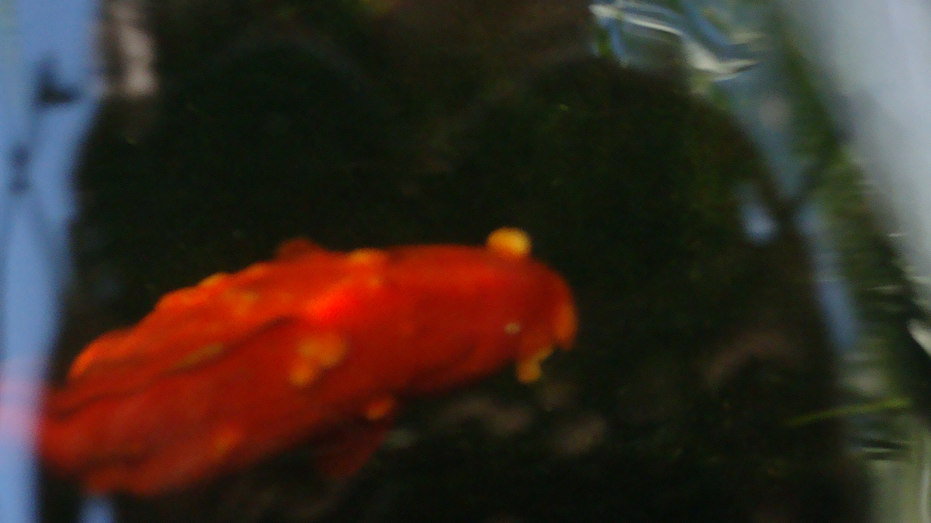 Goldfish in a pond with welts all over its body for Pond fish diseases