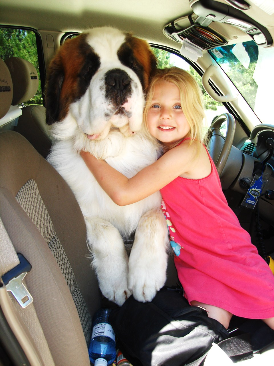 Saint Bernard Full Grown Compared To Human | www.imgkid ...