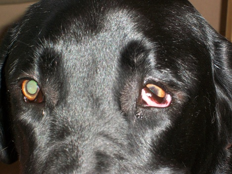 Dogs Eye Is Droopy And Red