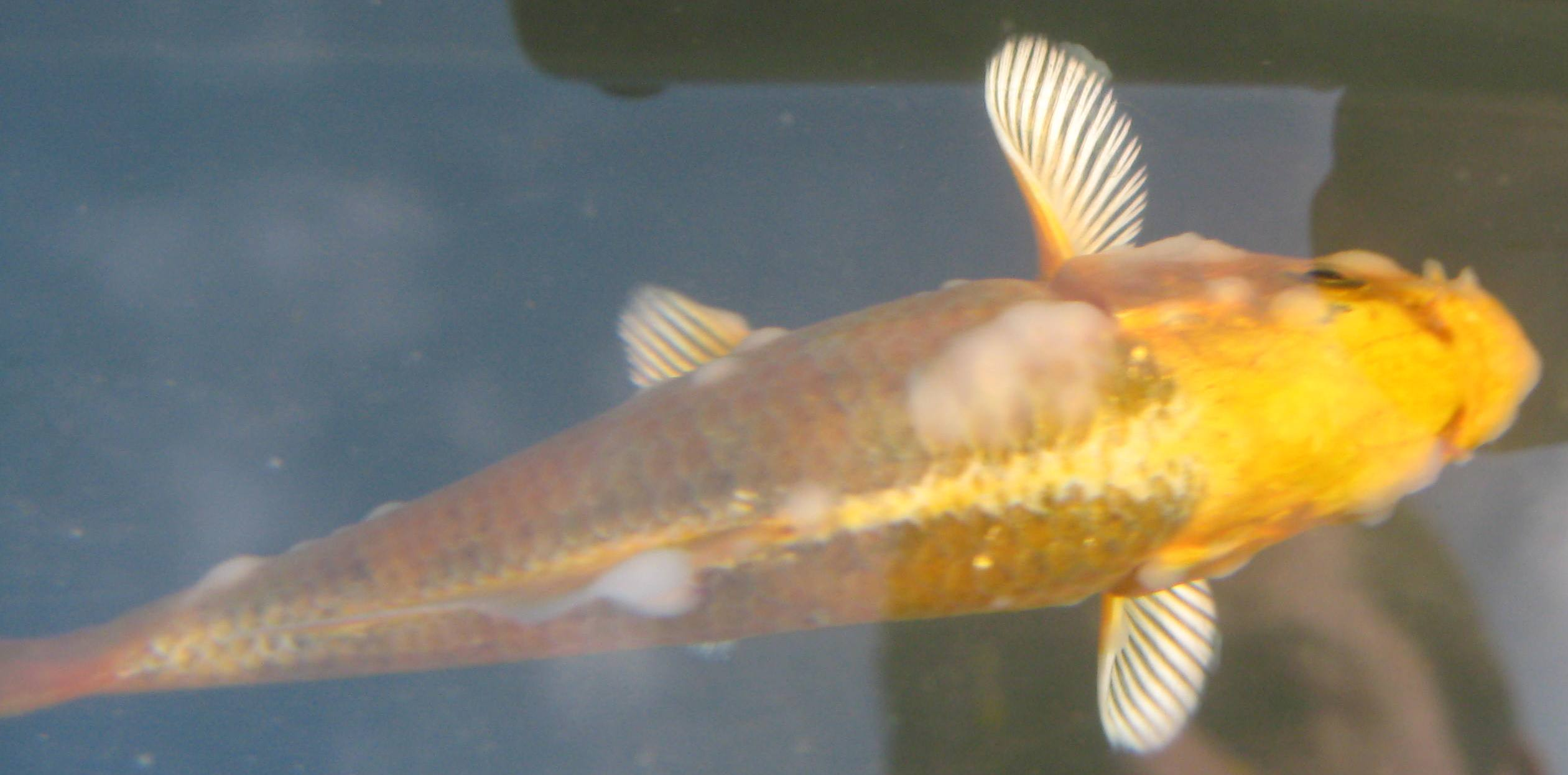 Koi with white suspected fungus on sides tips of fins for Pond fish diseases