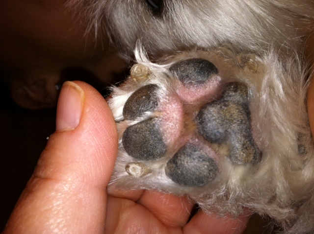My dog has developed swollen paws all four are swollen and