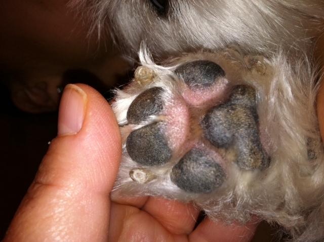 Dog Swollen Eye White