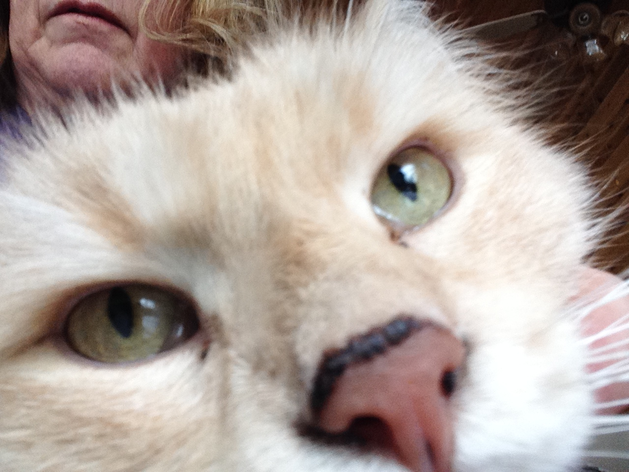 Cats With Spots on Their Noses - Pets