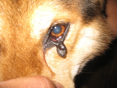 how to get a skin tag off a dog