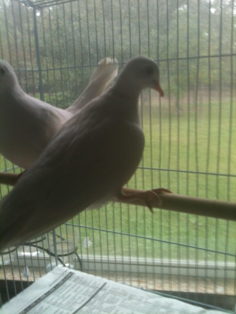 Dove right leg