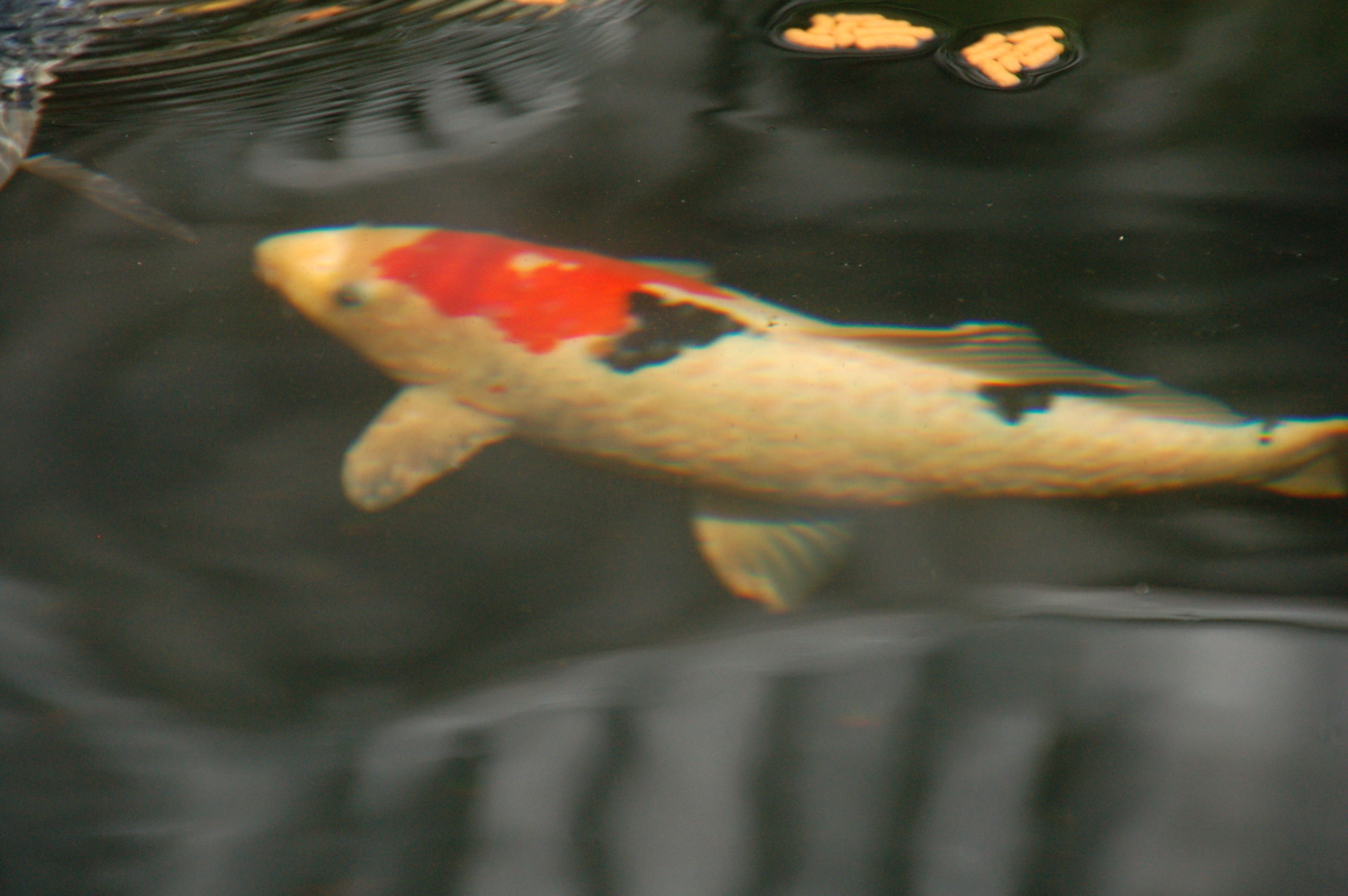 I have a koi in my pond that has many raised bumps on its for Koi fish parasites