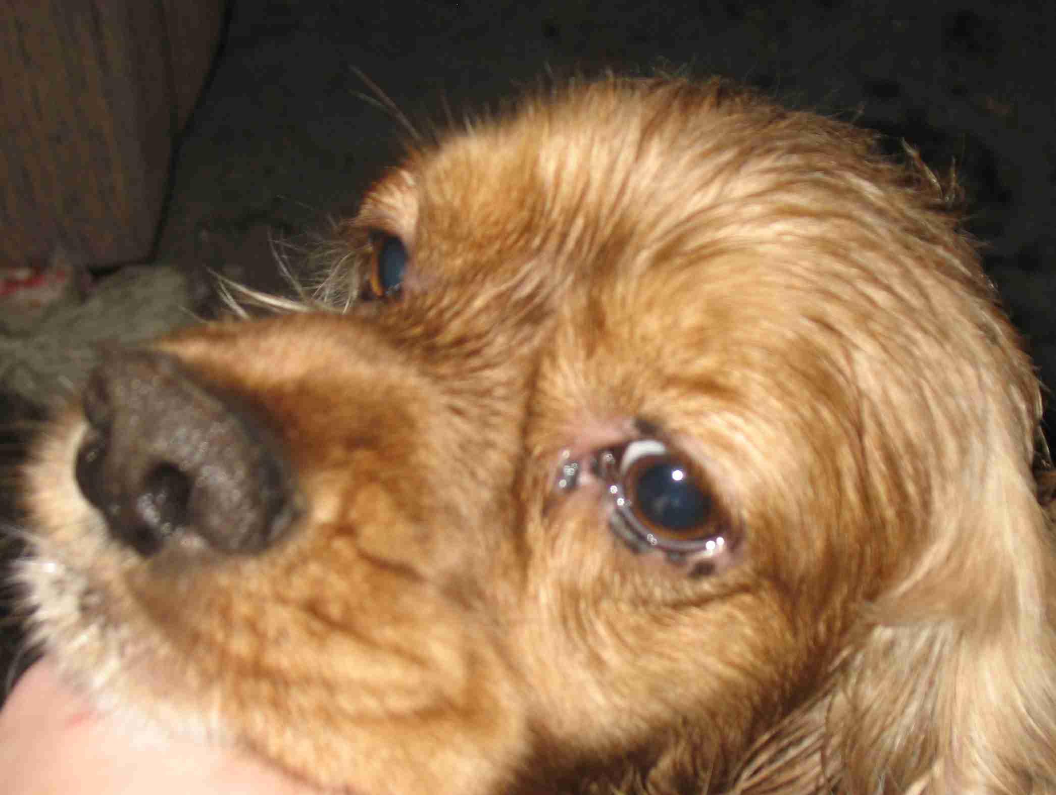 My Dog Has Irritated Skin Around Eyes