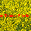 500/mt of GM Canola  - Grain