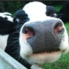 Looking For Dairy Heifers