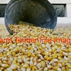 800/mt of Corn, tested gritting  - Grain