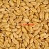 300mt ASW1 Wheat For Sale Ex Farm - Grain & Seed
