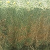 300 Bales of New Season Vetch Hay