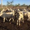 50 Brahman steers