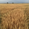 Approx. 500mt of Yarran Oats off the Header Starting Next Week 9/11/15 For Sale