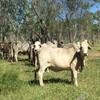 20 Brahman cows