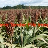 Sorghum Hay - Hay