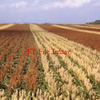 For Sale Sorghum Hay in 4x4 Round Bales - Hay