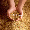 6mt Soybean Seed For Sale Graded - Grain & Seed