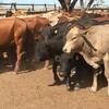 10 Brangus  steers