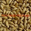 Forage Barley For Sale - Grain & Seed