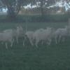 50 Cross Bread Ewe Lambs