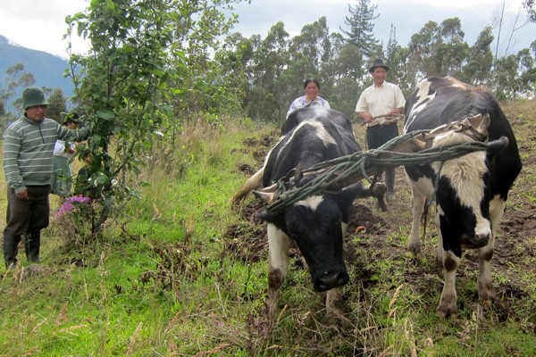 The Cows in the Amazon