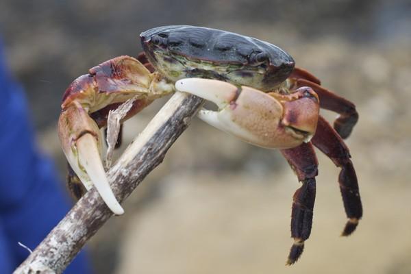 Thai crab