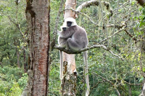 Bhutan monkeys