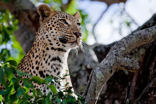 Londolozi Leopards