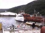 Newfoundland_pidgey