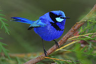 Sd12_blue_patrick