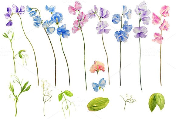 Watercolor Clipart Sweetpea