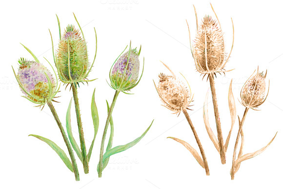 Watercolor Thistle Seed Heads