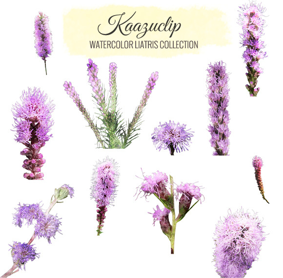 Watercolor Liatris Collection