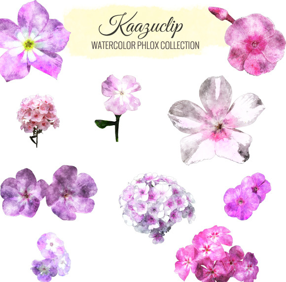 Watercolor Phlox Collection