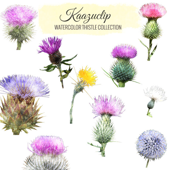 Watercolor Thistle Collection
