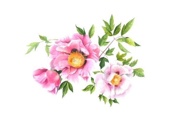 Peony Watercolor Illustration