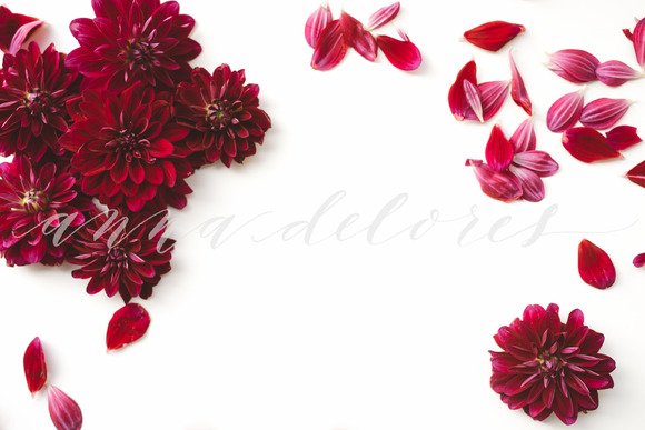 Flower Stock Photo Dark Red Dahlias